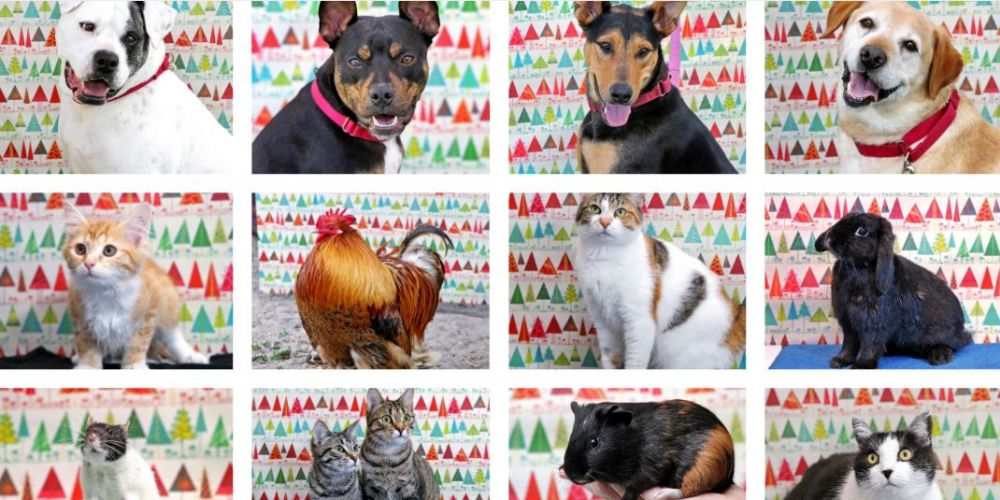 The RSPCA WA is looking for homes for their 12 strays of Christmas.