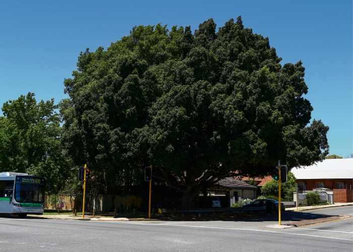 The giant Banyan tree at the corner of Shepperton Road and Mint Street.