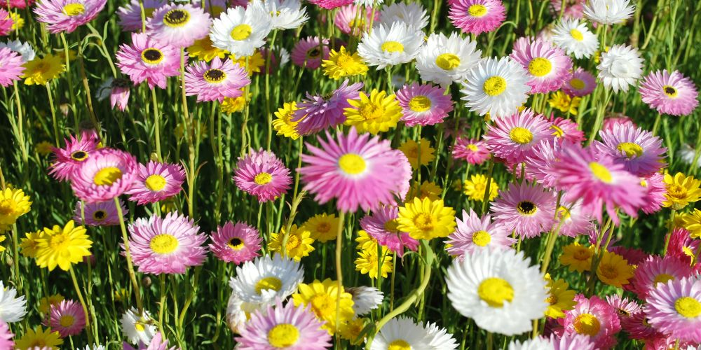Australian native Paper-Daisy flowers in yellow, pink and white
