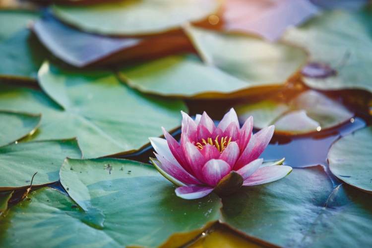 How to grow tropical waterlilies at home
