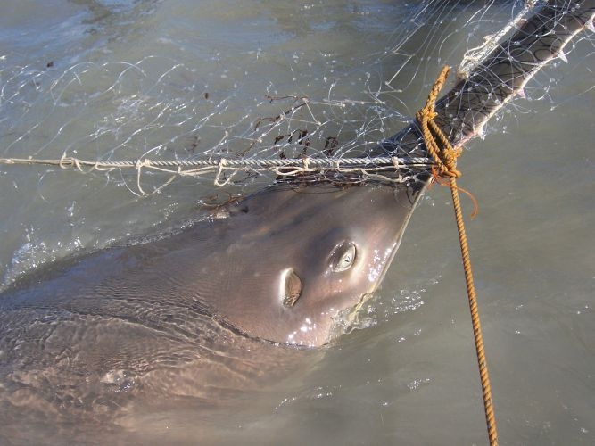 A green sawfish was measured and released after is saw, a quarter of its length, held it in the gill net.