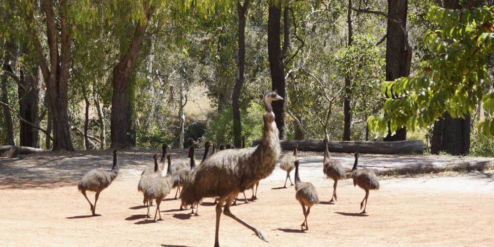 A mob of emus on tour in Nannup Photo: Clare McAlaney