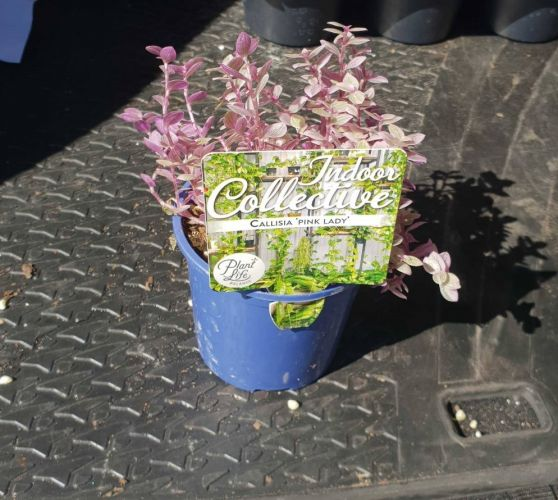 A Callisia Pink Lady sold at Bunnings.
