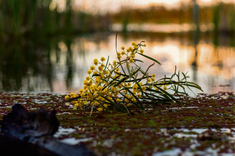 Taylor Yates captured a sprig of wattle in Beeliar at sunset.