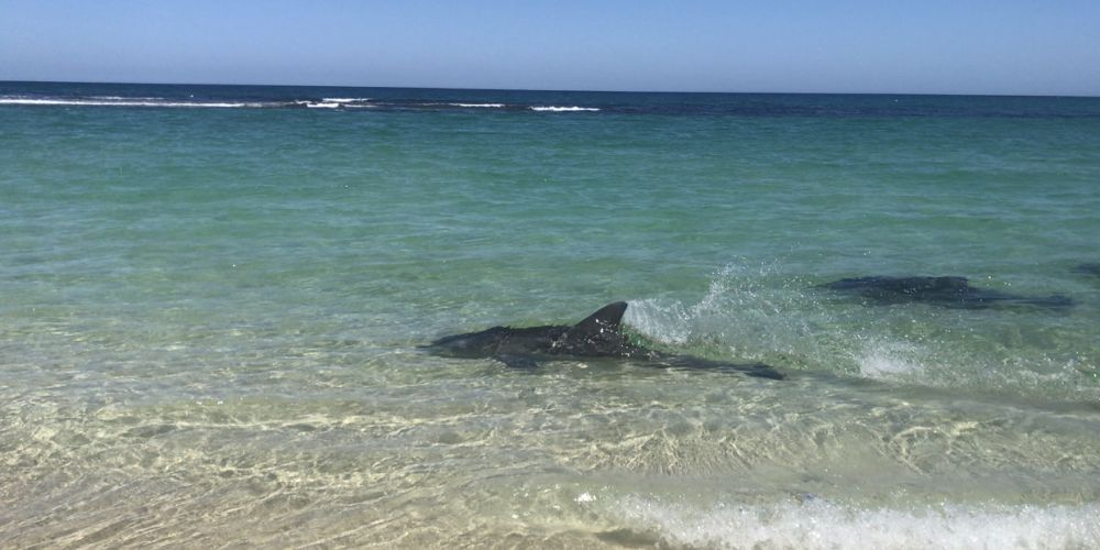 Dolphins at Yanchep Lagoon. Picture: Carly Sinden Photography