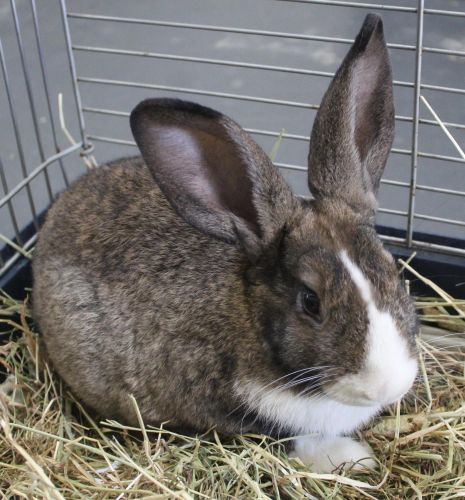 Celery the rabbit is up for adoption.