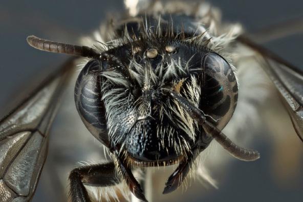 The Hesperocolletes douglasi bee has been found in Pinjar. Picture: N. Tatarnic