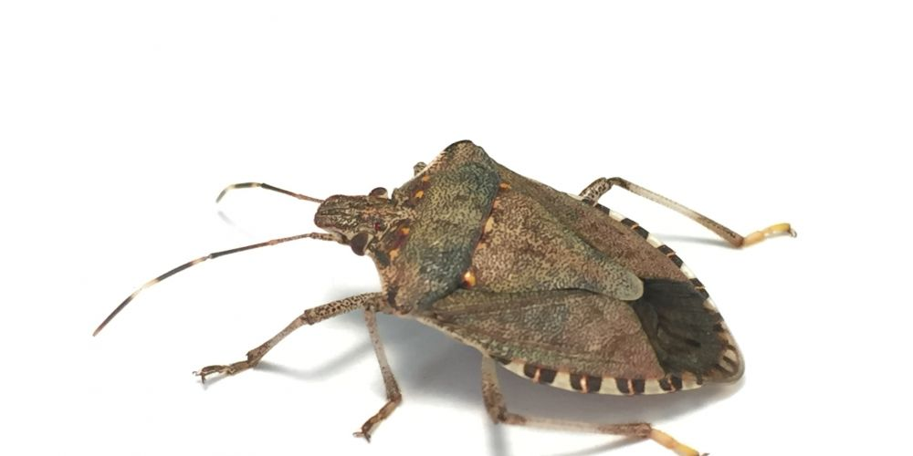 The brown marmorated stink bug (Photo credit: Kristie Graham USDA ARS)