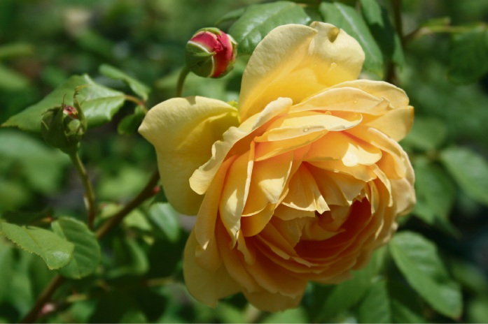 Roses top of the list for autumn