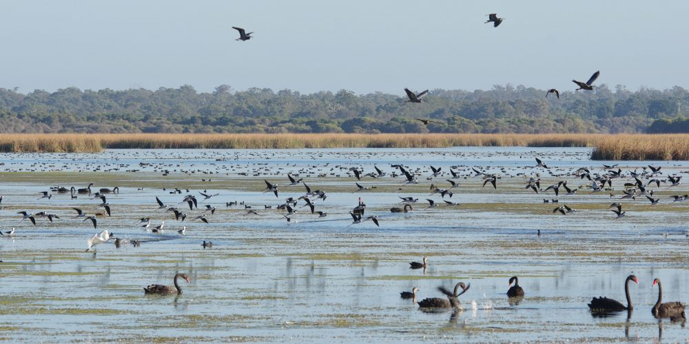 Waterbirds on Lake Joondalup. Pictures: Gary Tate
