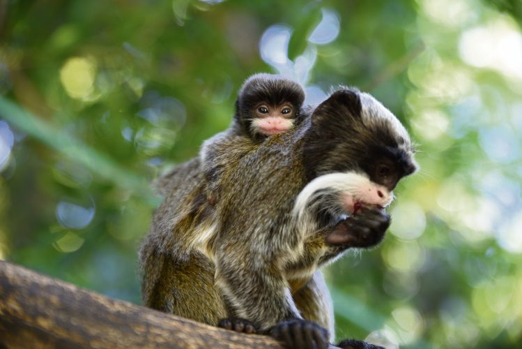 Emperor Tamarin twins were born to breeding pair Javier and Eemmee. Picture: Alex Asbury.