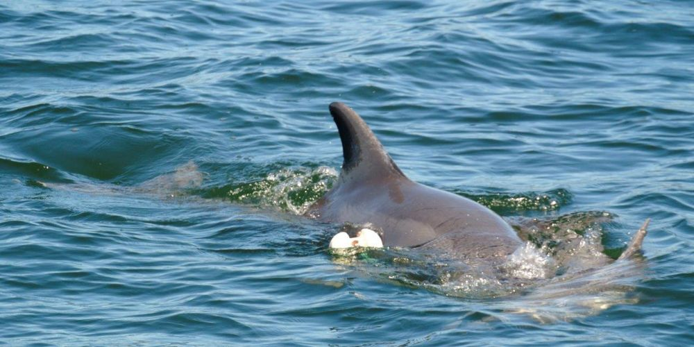 Swan River dolphin calf dead after becoming tangled in crab net