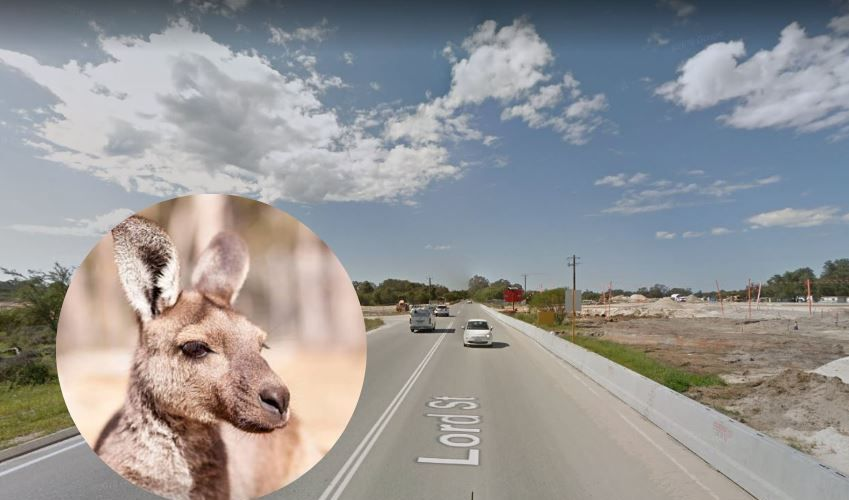 Up to 30 kangaroos have been killed since the first section of New Lord Street opened.