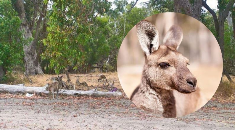 Baldivis kangaroos ready for state forest move