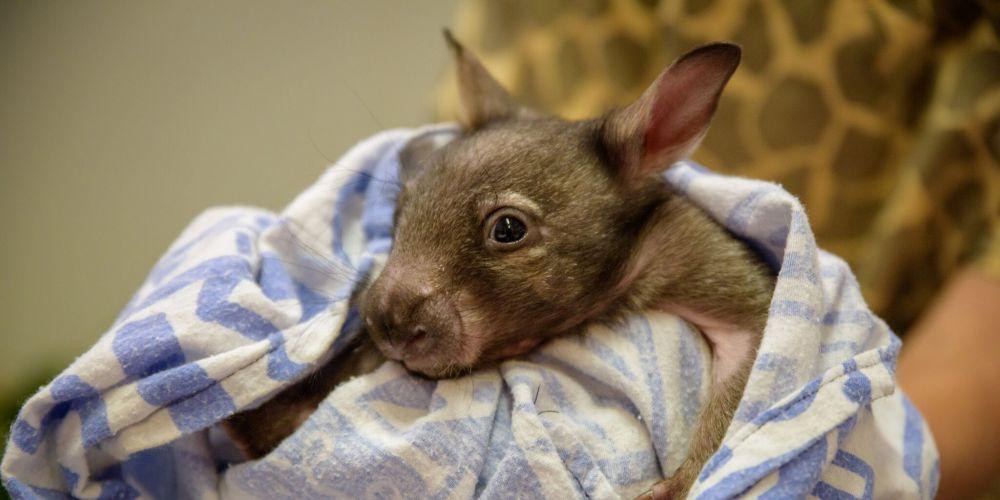 The orphaned wombat. Photo: Alex Asbury