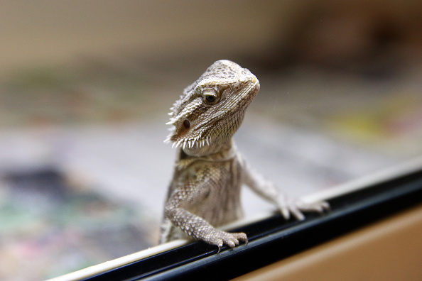 A Bearded Dragon has been released back into the wild after being seized in a police raid. Picture: Carl Court/Getty Images