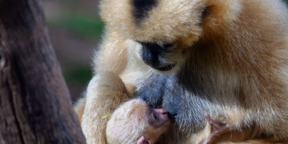 A newborn white-cheeked gibbon, one of the world's rarest apes, which has made its public debut at Perth Zoo. Picture: Supplied