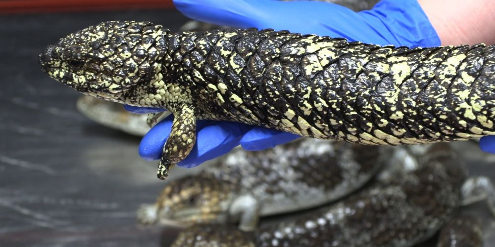 The rescued lizards. Picture: Supplied