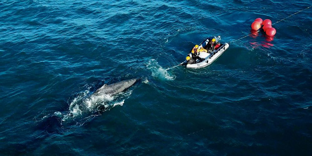Humpback whale freed from fishing line off Dawesville