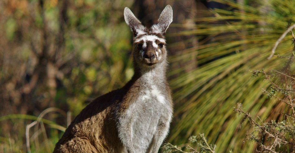Kangaroo with white facial markings. Picture: Gary Tate