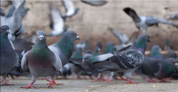 Subsidy for residents to control feral pigeons