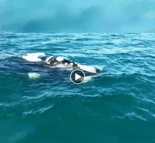 WATCH: Whale greets boat off WA coast