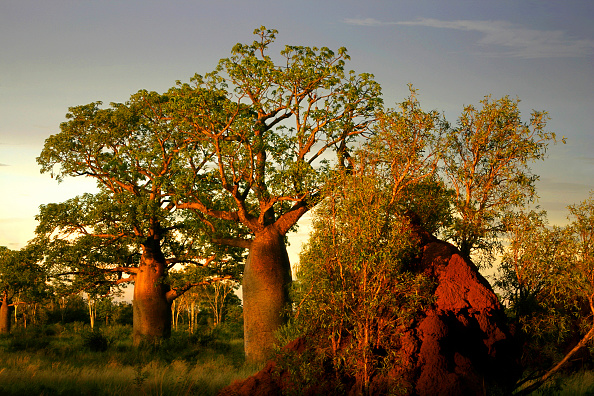 Boab Trees and termite hills in the West Kimberley. Picture: Mayall/ullstein bild via Getty Images