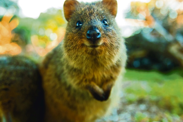 Rottnest Island Kingdom of the Quokka.