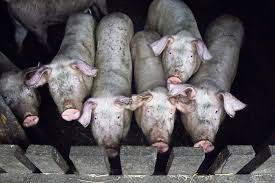 Department launches piggery odour investigation