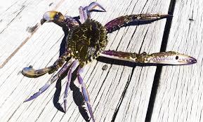 Men caught with 116 undersized crabs