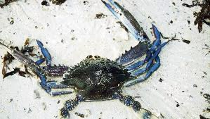 Man caught with undersized crabs unaware of rules