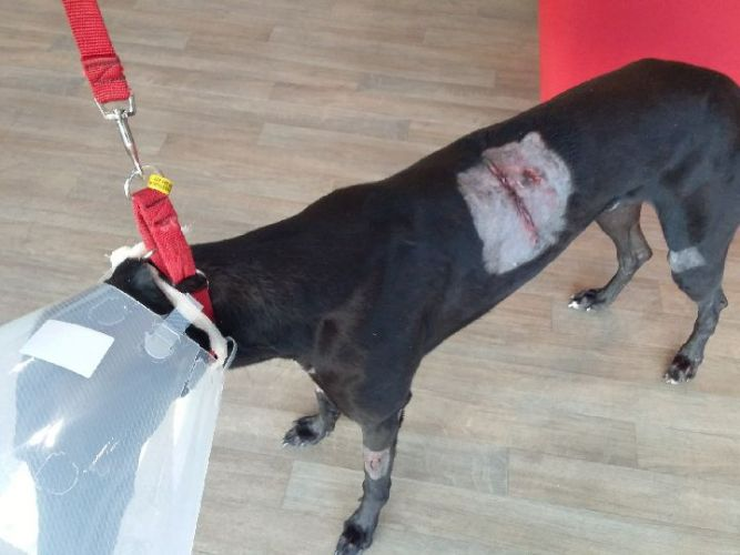 The injured greyhound.