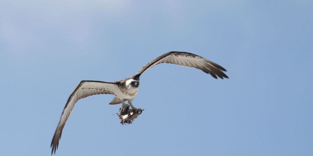 One of the Ospreys. Photos: Andrew Ritchie