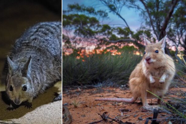 L: Banded Hare-wallaby. Picture: Brad Leue/Australian Wildlife Conservancy, R: Rufous Hare-wallaby. Picture: Joey Clarke/Australian Wildlife Conservancy