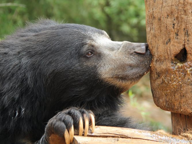 Raju is the last-known Indian dancing bear to be rescued. Picture: Free the Bears