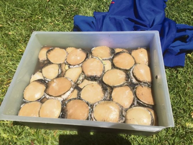 Abalone found in the backseat of a vehicle in Morley.