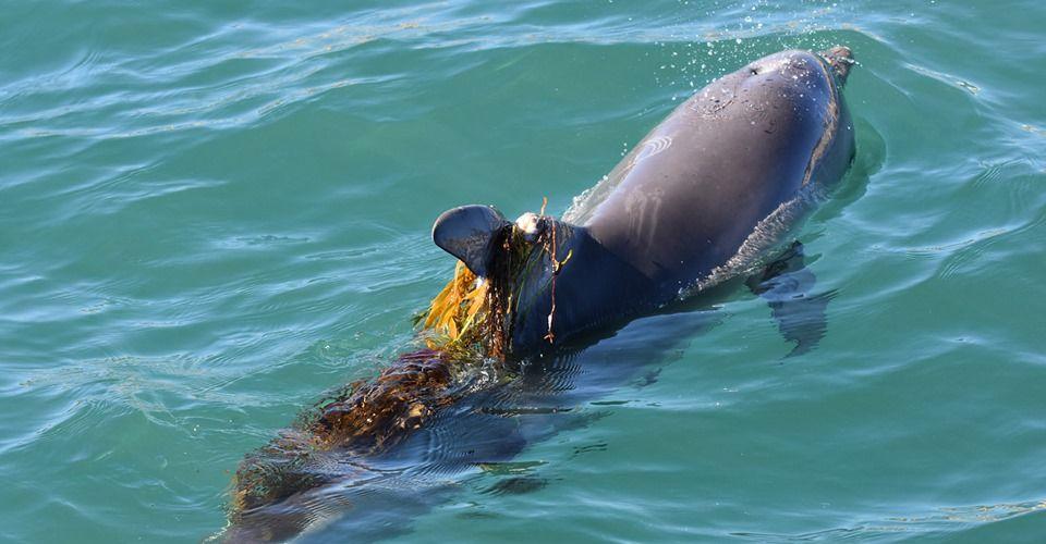 Mandurah's beloved dolphin Luca dies