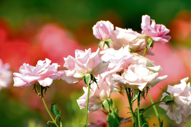 Feed your roses and monitor for fungal infections.