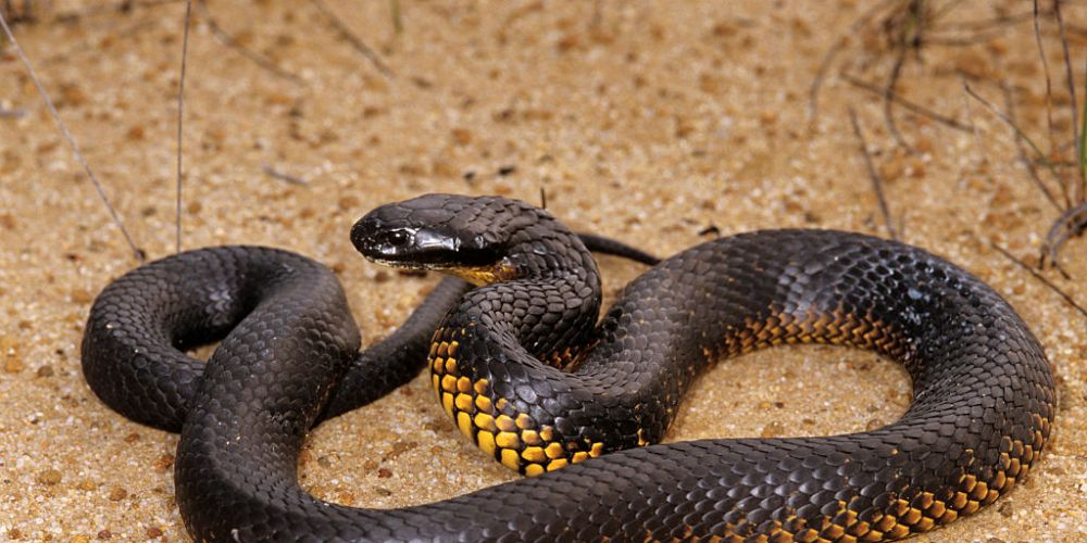 The western tiger snake. Photo: Getty