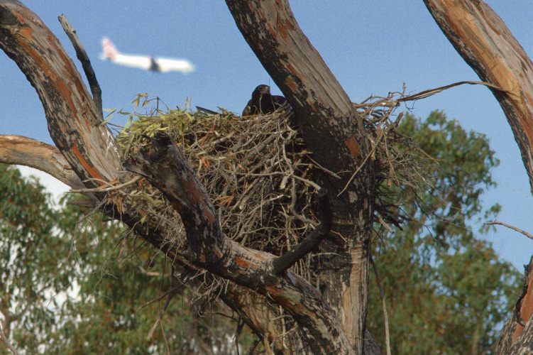 Bird strikes on the up at Perth Airport