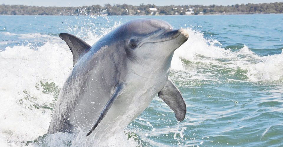 High ranking male dolphin dies