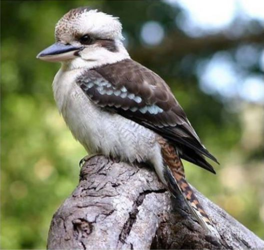 Kevin the kookaburra. Picture: The Parkerville Tavern