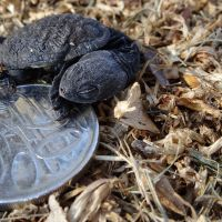 Turtle hatchling with a 20-cent coin, near Lake Joondalup. Picture: Gary Tate