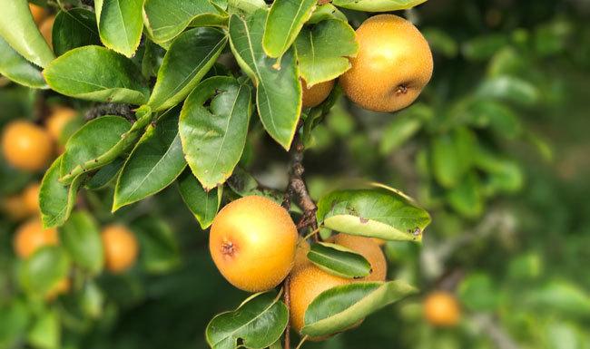 Nashi Pear Superfood Smoothie