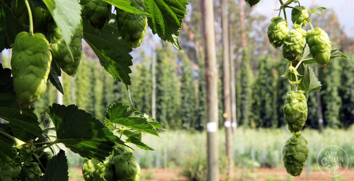 The Big Issue: Hops