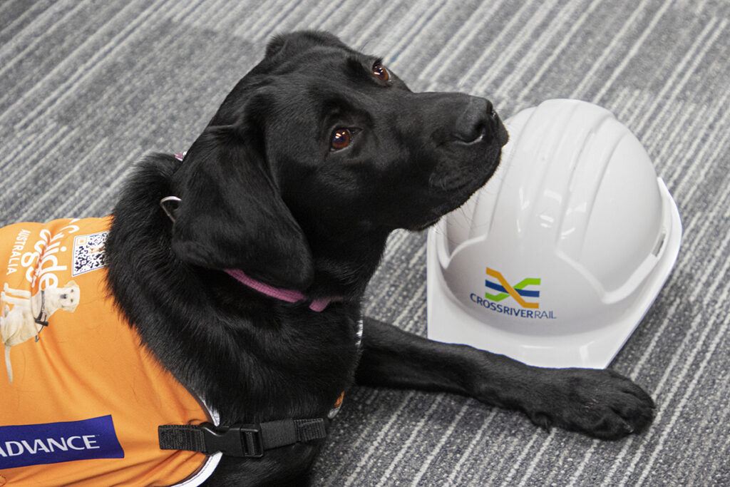 Trainee Guide Dog Samantha with a Cross River Rail hard hat
