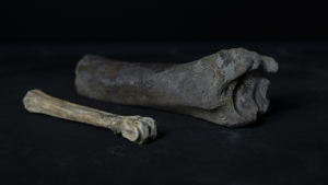 Slide 7 of 16 - Animal bones, most likely from a cow