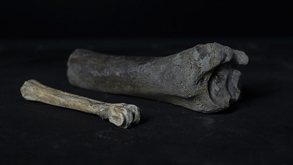 two, aged animal leg bones
