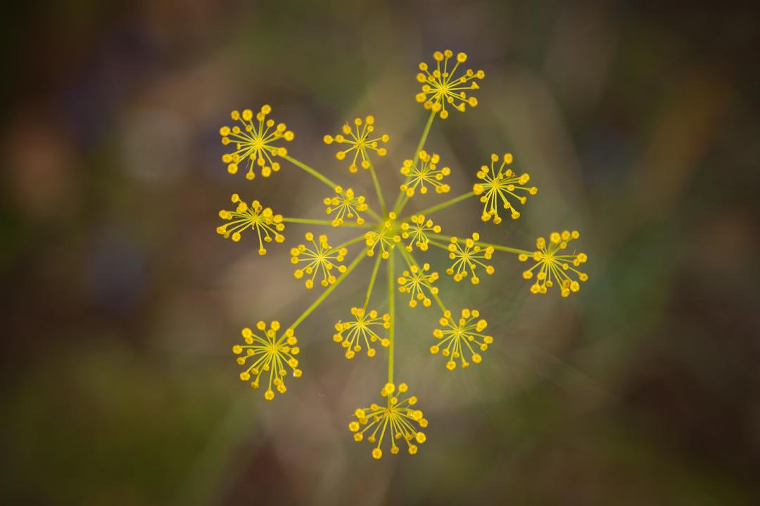 Fennel-flower-head.jpg
