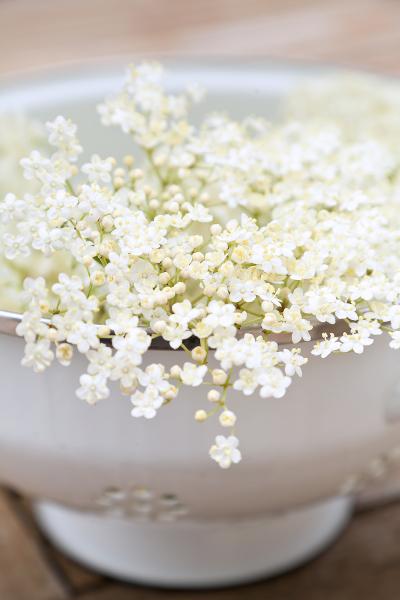 Elderflower-Sambucus-Nigra-II.jpg